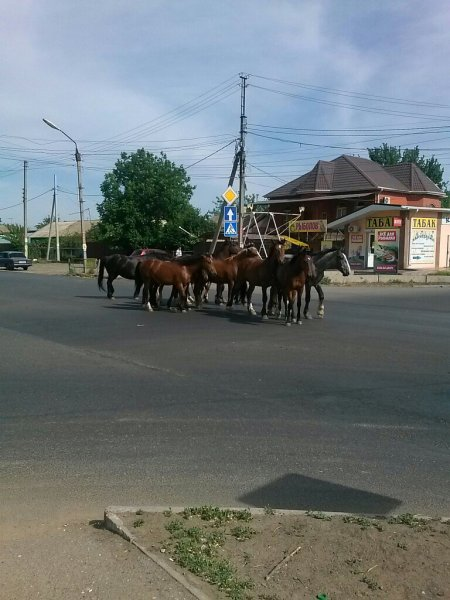 По улицам Астрахани разгуливает табун лошадей