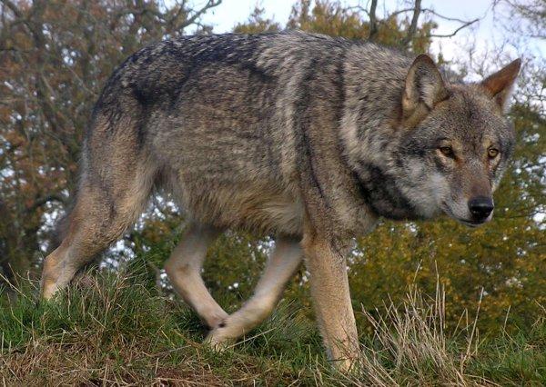 Прогуливающийся по улицам волк наводит ужас на жителей Ростова