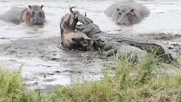 В ЮАР бегемоты вытащили антилопу гну из пасти голодных крокодилов