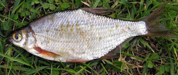 В Самарской области водится рыба с червями в кишечнике