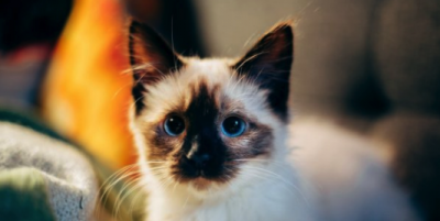 Ученые нашли способ, как преодолеть аллергию на кошек