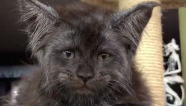 Котенок с человеческим лицом стал главной звездой соцсетей