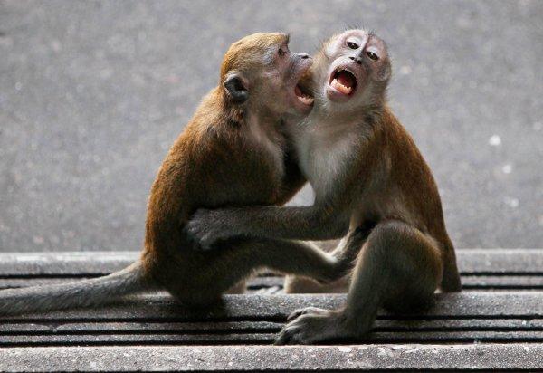 В Сети обсуждают видео, на котором обезьяна пытается оживить мертвого друга