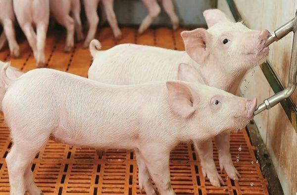 Большой выбор поилок для свиней